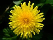 taraxacum_officinale_aggregata_species_dandelion_flower_02-05-04.jpg